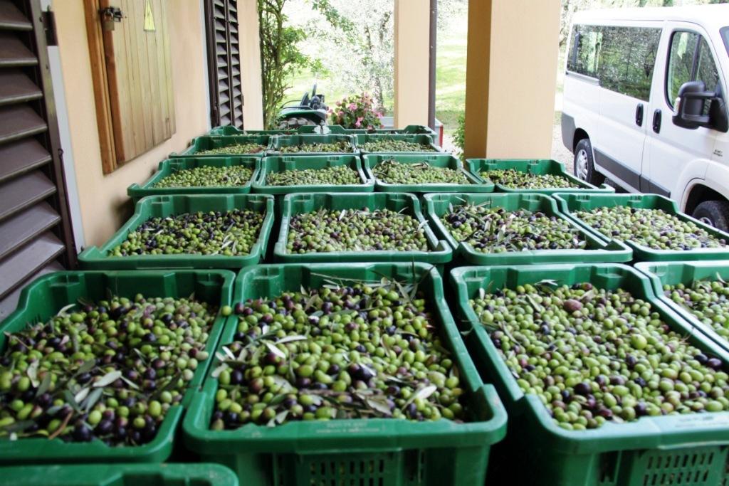 Vers geplukte olijven, klaar voor transport naar de perserij