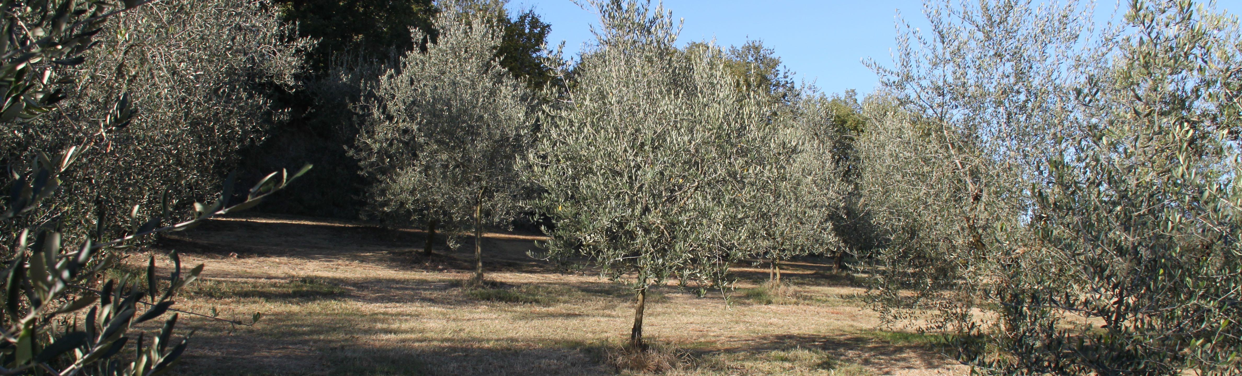 Eigen productieve olijfgaard